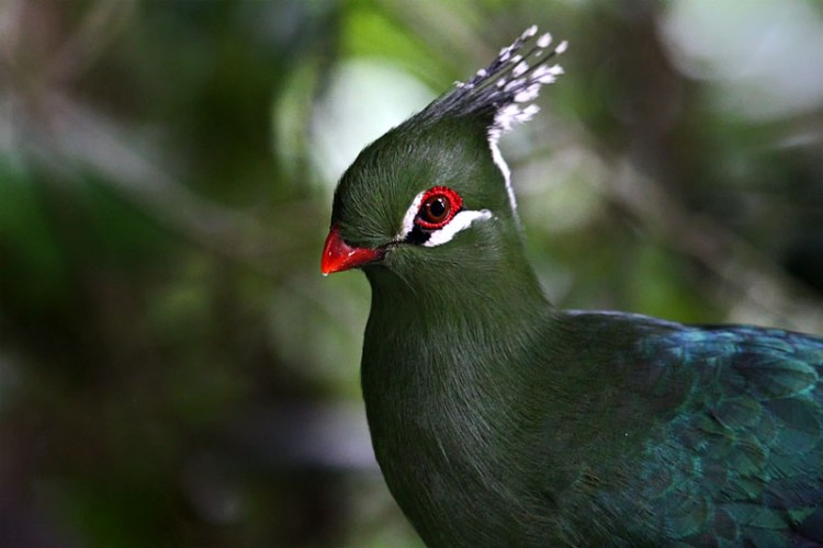 The bird is replaced in the eastern lowlands by Livingstone's turaco, which is similar in appearance and behavior. Like other turacos, it is a medium-sized bird, with short, rounded wings, a long tail, and a stout, curved bill.