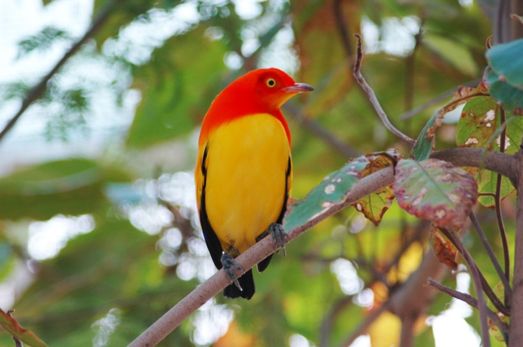 The courtship behavior of the flame bowerbird was filmed by Japanese photographer Tadashi Shimada in Dancers on Fire, a documentary that aired on the Smithsonian Channel.
