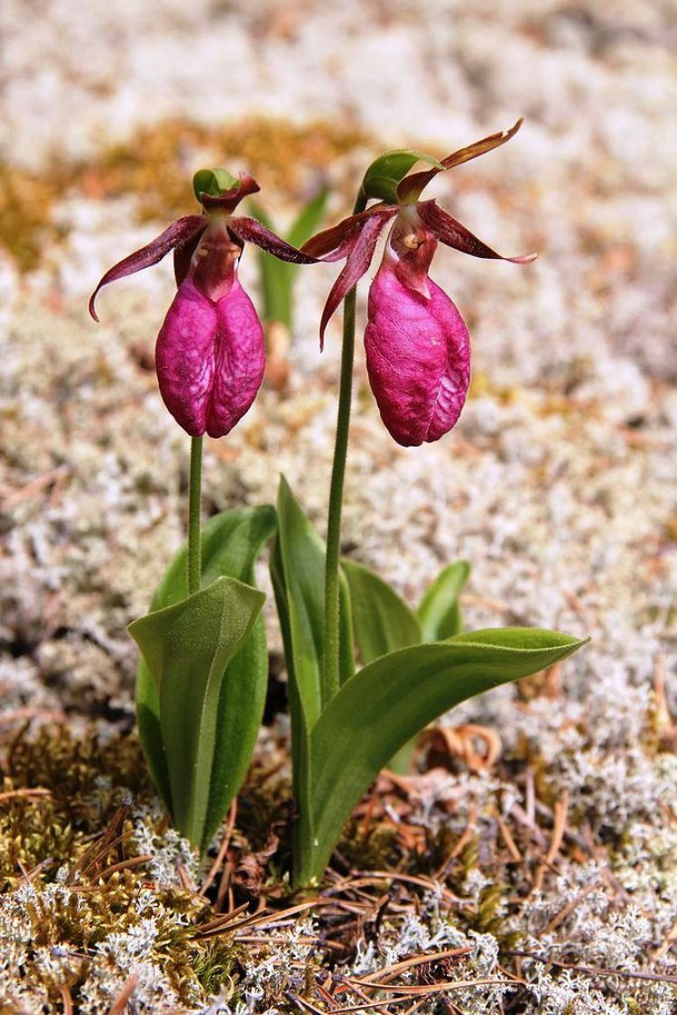 """The pink lady slipper flower is also known as the """"moccasin flower"""" is very own much admired and often misunderstood wild native orchid in North America."""