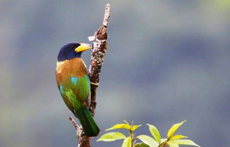 This is the largest barbet at 31–33 cm in length and a weight of 192–295 g.