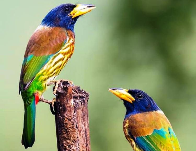 The adult has a blue head, large yellow bill, brown back and breast, green-streaked yellow belly and red vent.