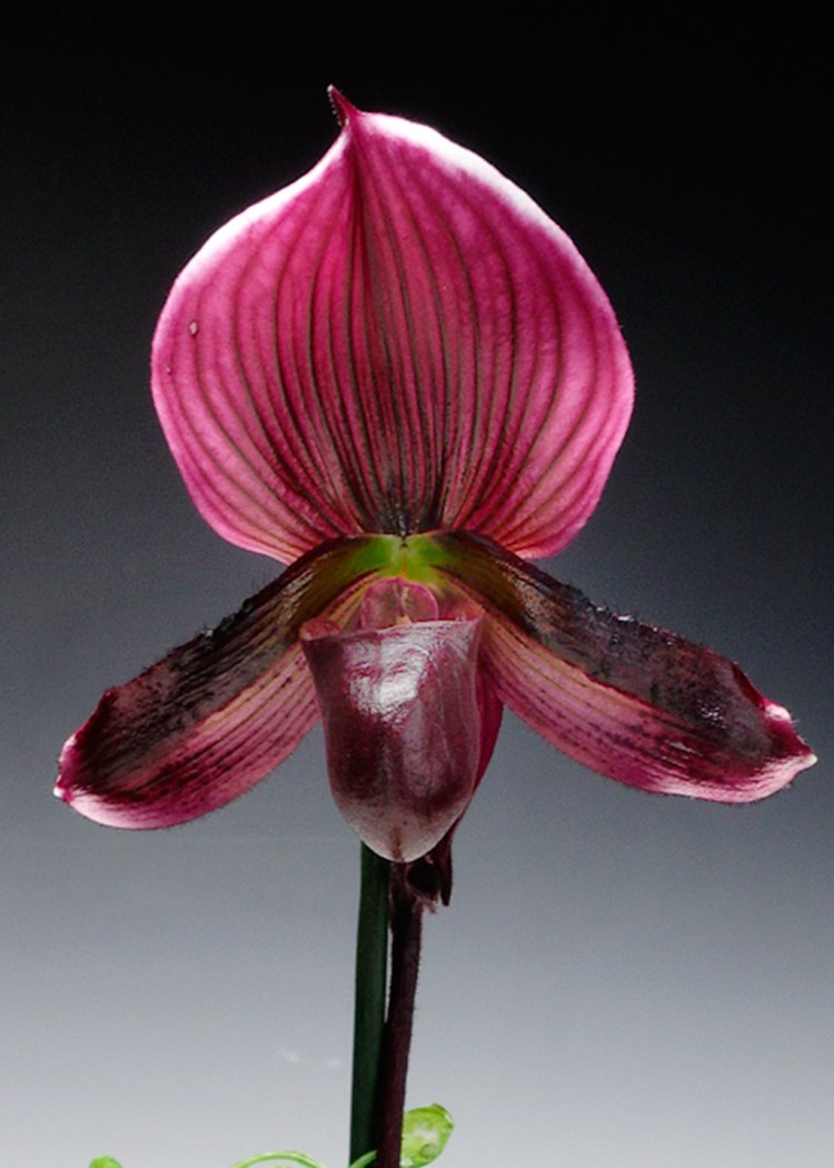 The flower is named for their resemblance to a delicate pair of feminine slippers in hues of pink, white, or variegated colors.