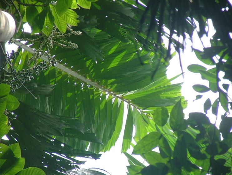 A leaf of S. exorrhiza