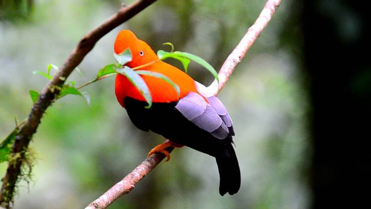 A cloud forest is a tropical or subtropical forest that is usually covered by clouds or fog at the canopy level. The bird is one of many birds species to exhibit marked sexual dimorphism.