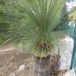 "The Grass Tree ""Xanthorrhoea glauca"""
