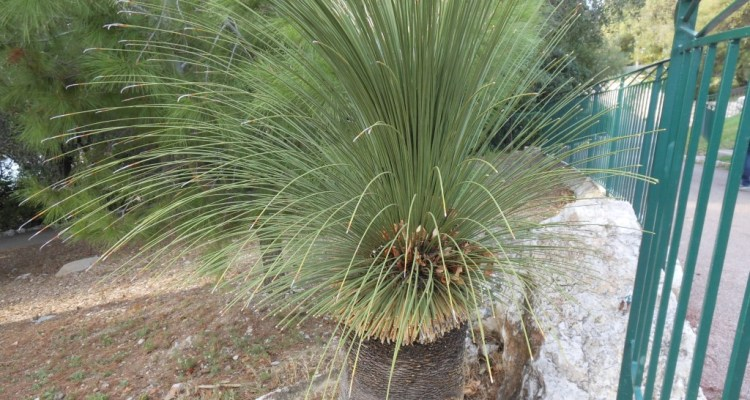 The grass trees are highly fire-resistant and are among the first to resprout after wildfire as the living growth is buried within the old dead leaf bases.
