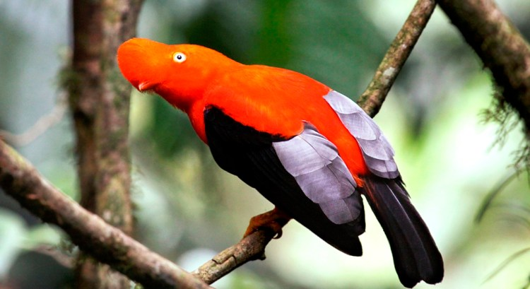 It is a medium-sized perching bird around 12 inches in length and weighing around 265 grams.
