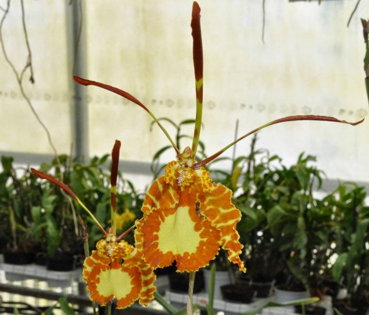 . The butterfly orchid can also withstand extreme watering as well as accidental drying out with some ease.
