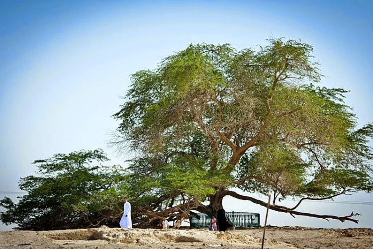 However, researchers have speculated that the nearest possible source of water is an underground stream about two miles away and that the tree is somehow drawing water from that stream. Image credit Omar Chatriwala