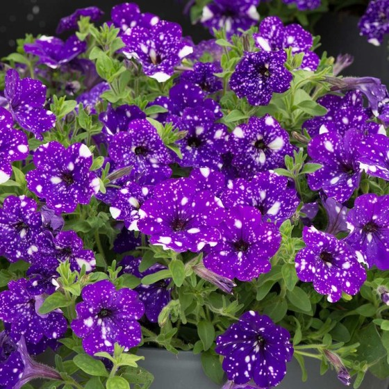 The Petunia is a mainly popular plant among gardeners and flower enthusiasts. (Photo Credit J. Parker's)