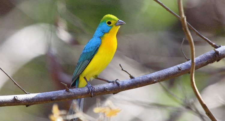 Hence, Females birds are immatures and entirely green above, with yellow lores, throat, and underparts are yellow, shaded with gray along the sides and chest.