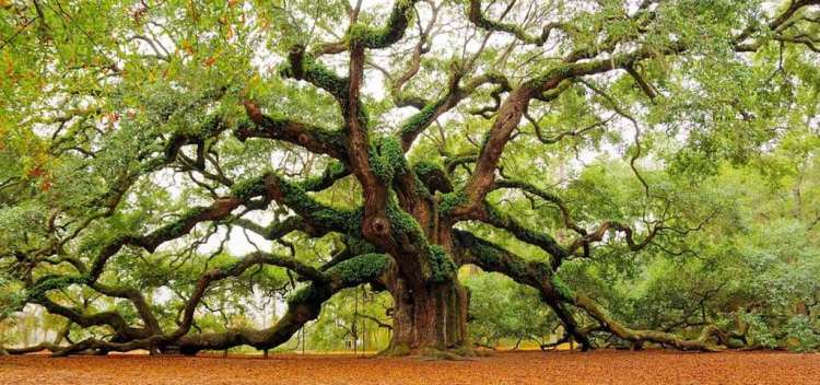 Angel Oak is believed to be around 400 years old, stands 66.5 ft tall, measures 28 ft in circumference, and produces shade that covers 17,200 square feet