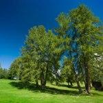 Larch, An Evergreen Tree