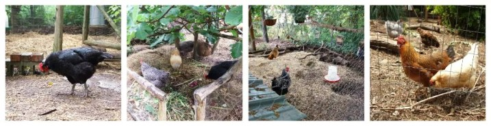 Tour D'Coop Chickens