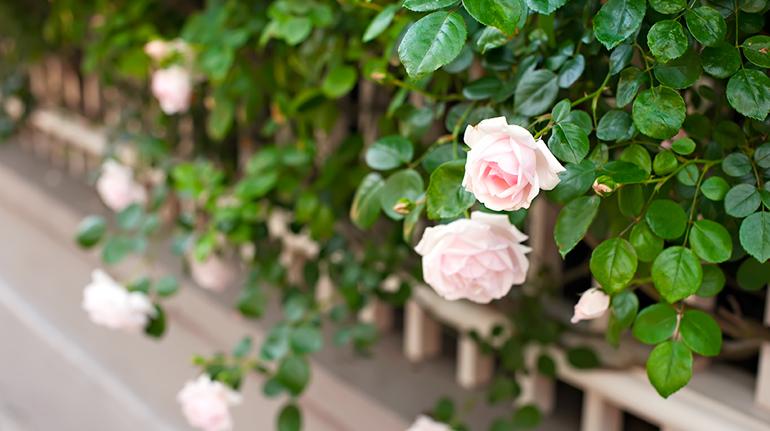 Roses3web2