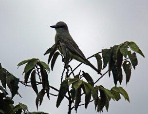 Panama Flycatcher