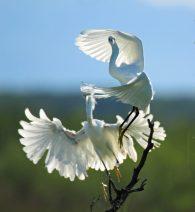 Snowy Egret Ballet?