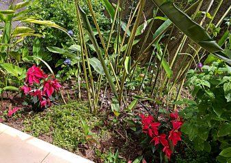 2 Poinsettias Lost in the Garden.