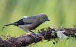 Palm Tanager