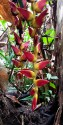 Heliconia in the wild