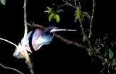 Agami Heron
