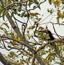 Collared Aracari Toucan