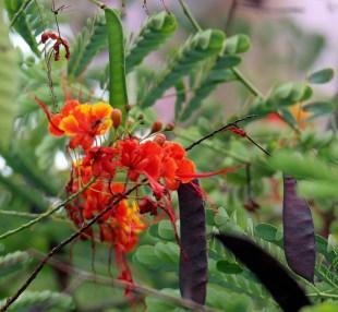 Peacock Flower