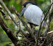 Boat-billed Heron on Nest