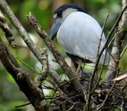 Boat-billed Heron on Nest