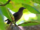 Great-tailed Grackle female