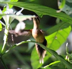 Stripe-throated Hermit Hummingbird