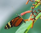 Orange-spotted Tiger Clearwing