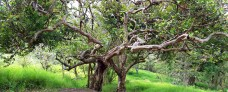 An Unusual Tree that Got My Attention in Curi Cancha
