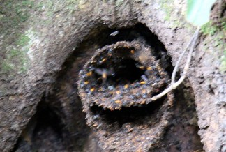 Stingless Wasp Nest, Curi-Cancha Reserve