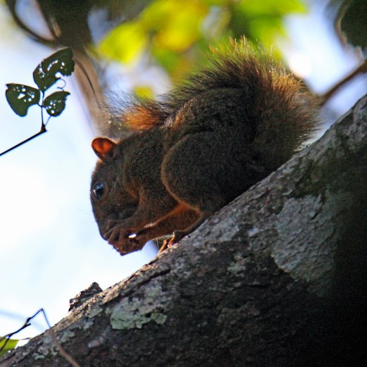 Red-tailed Squirrel, Bajo del Tigre
