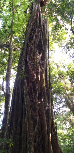 An Old Growth Ficus Tree in Monteverde Reserve