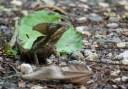 Brown Basilisk
