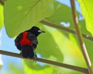 Cherrie's Tanager or Scarlet Rumped Tanager Cherrie's