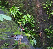 Sunbittern rushing up cliff by waterfall