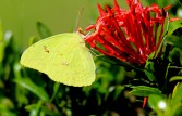 Little Yellow Sulphur Butterfly