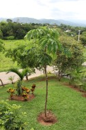 A Skinny Little Tree When Planted