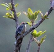 Hoffman' Woodpecker Male