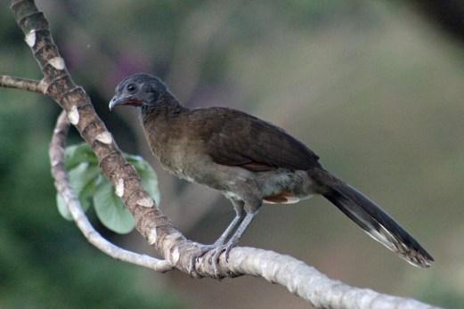 Gray-headed Caracara