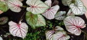 The only color caladiums they had