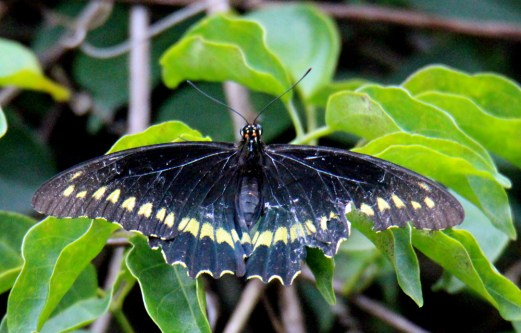 Polydamas Swallowtail (top)
