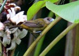 Female Scarlet-rumped Tanager