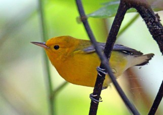 Prothonotary Warbler from canoe