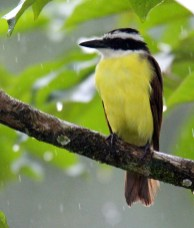 Great Kiskadee from canoe