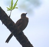 Clay-colored Thrush Adult
