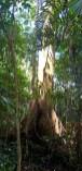 Old Growth Big Trees